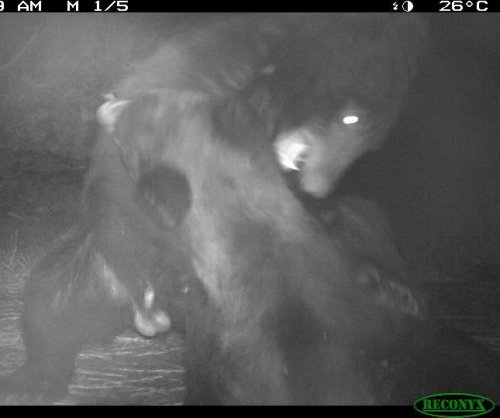 North Carolina wildlife camera captured brawling bears