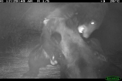North Carolina wildlife camera captured brawling bears