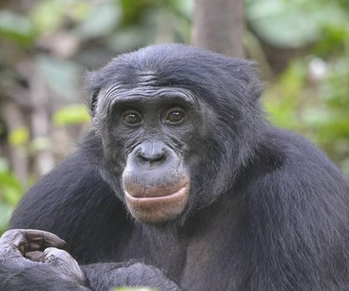 Bonobos show a preference for jerks