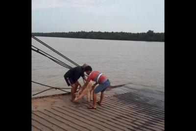 Ferry crew members pluck pig out of river