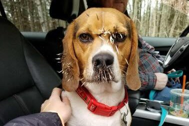 Look Annoyed Dog Left With Face Full Of Porcupine Quills