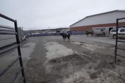 Bull gets loose in parking lot at bull riding event in Montana