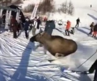 Moose runs down crowded ski slope in Sweden