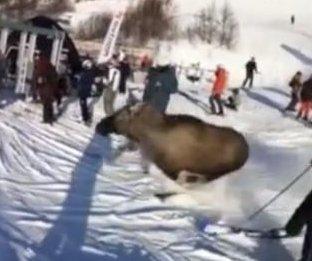 Moose runs down crowded ski slope in Sweden