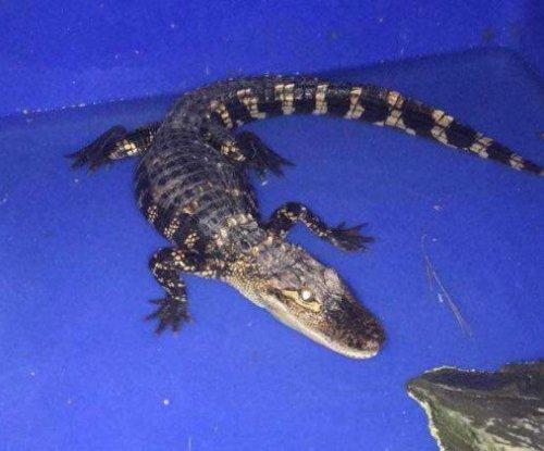 Alligator wandering upstate New York town captured