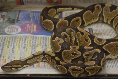 Man finds loose ball python while hunting in Hawaii