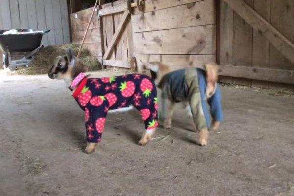 Watch Nigerian Dwarf Goats Don Pajamas In Maine Upi Com
