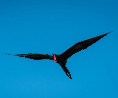 Frigate birds soar without landing for weeks at a time