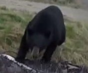 Canadian bow hunter fights off attacking black bear