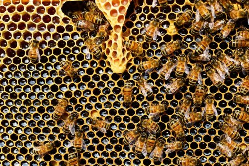 Organic farming aids honeybee colony health