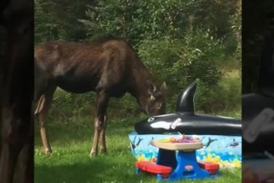 Moose crashes pool party, steals taco