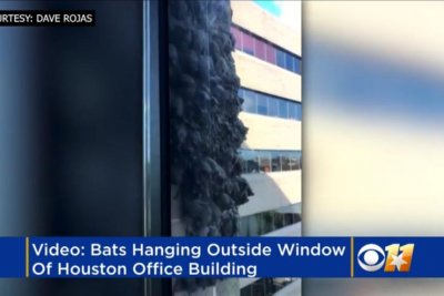 Bats cover wall outside window of Houston high rise office