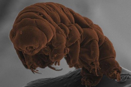 Tardigrade's DNA reveals water bears' secrets