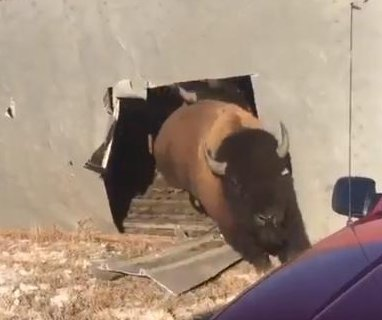 Firefighters free bison from overturned tractor-trailer