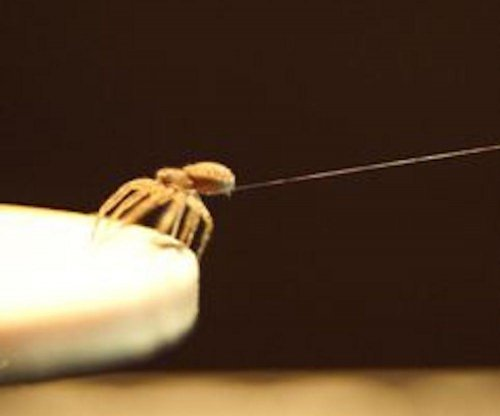 Flying spiders spin a balloon of silk to catch a ride with the wind