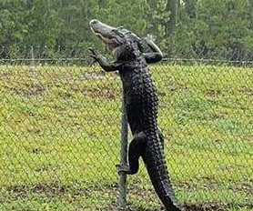 Alligator scales fence to enter Navy base in Florida