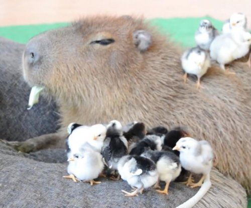 JoeJoe the Capybara looks after baby chicks
