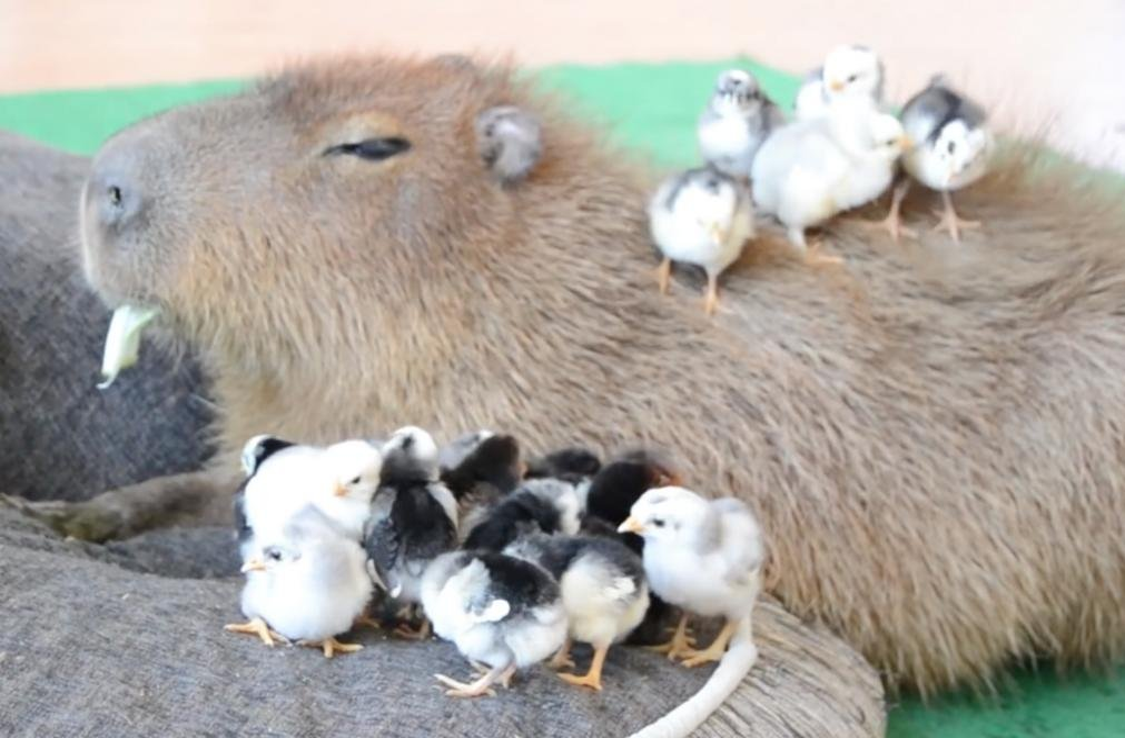 Resultado de imagem para JoeJoe The Capybara