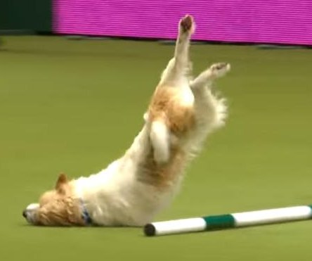 Enthusiastic Jack Russell steals dog show with epic faceplant