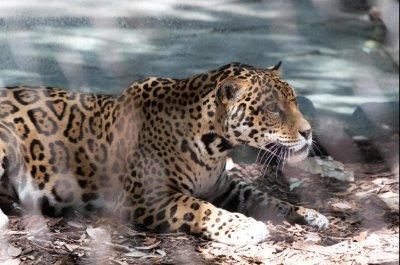 Jaguar escapes enclosure at New Orleans zoo, kills 6 animals