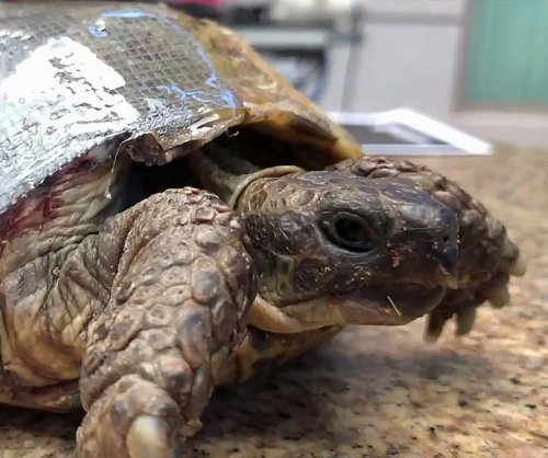 Veterinarian patches tortoise's shell with screen door repair kit