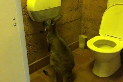 Kangaroo caught eating toilet paper in campground bathroom