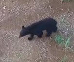 Indiana marks its second black bear sighting in 140 years