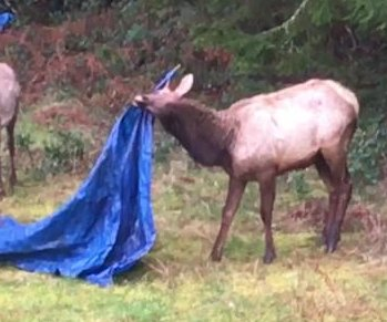 Elk gets caught on tarp in Oregon couple's yard