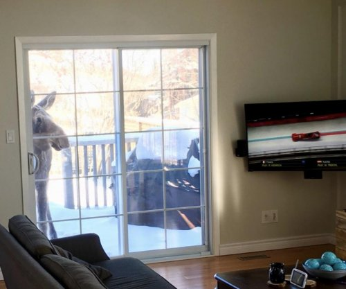 Canadian moose enjoys watching Olympic bobsleigh