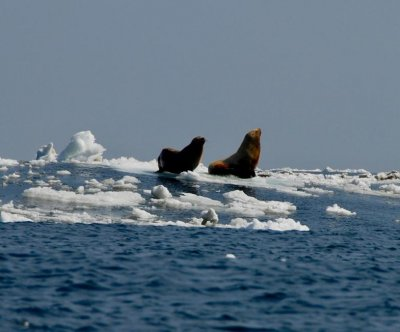 Melting Arctic ice accelerates spread of deadly virus in marine mammals