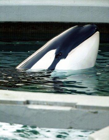 Killer whales make S. Calif. appearance