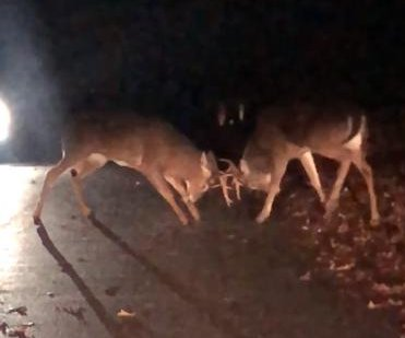 Big bucks block traffic in Rhode Island with mid-road brawl