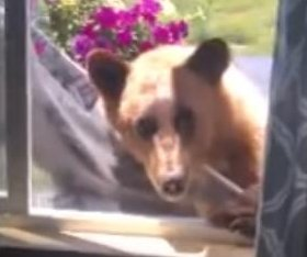 Bear tears out home's window screen, pokes head inside