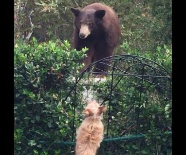 Small but fearless dogs convince bear to stay out of their California yard