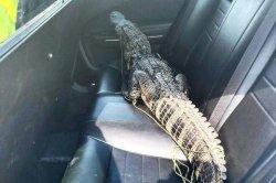 Porch-trespassing alligator takes ride in Florida deputy's patrol car
