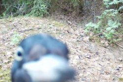 Woodpecker destroys nature camera at Russian nature reserve