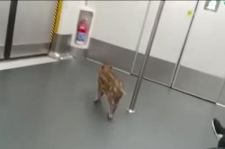 Wild boar takes a ride on two Hong Kong subway trains