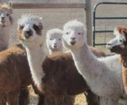 Canadian farm offers alpaca dance classes