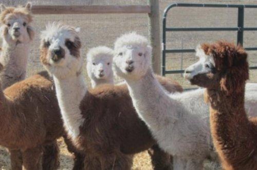 Canadian farm offers alpaca dance classes