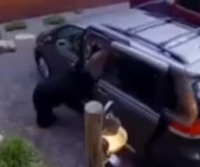 Mother bear opens van, climbs in with her cubs