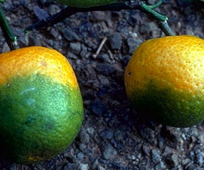 Oak leaves contain potential cure for citrus greening disease