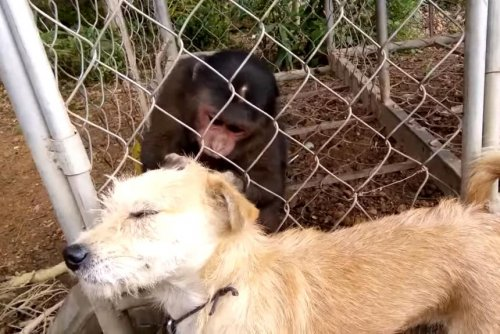 Farmer films monkey grooming dog through fence