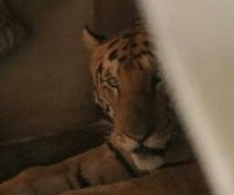 Tiger fleeing floodwaters breaks into home, relaxes in bed