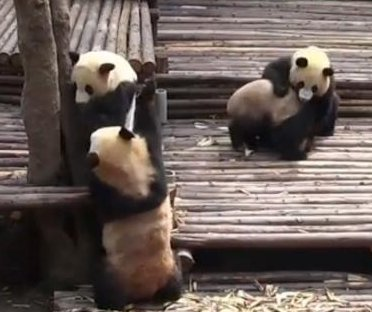 Panda cubs wrestle at Chinese breeding center