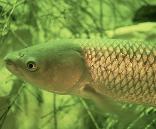 Michigan lawmakers propose bill to stop Asian carp invasion