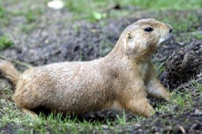 Die-off from plague gives prairie dogs a bad reputation, advocates say