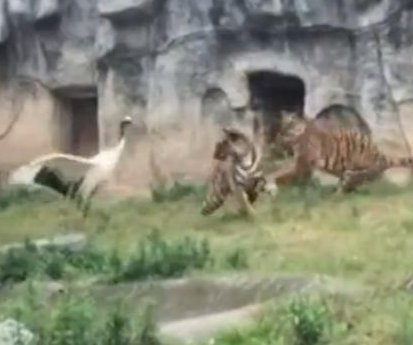 Crane fights off three tigers at Chinese zoo
