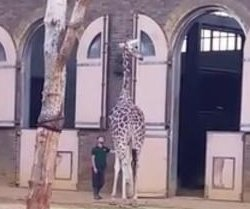 Defiant giraffe refuses to enter nighttime enclosure at London Zoo