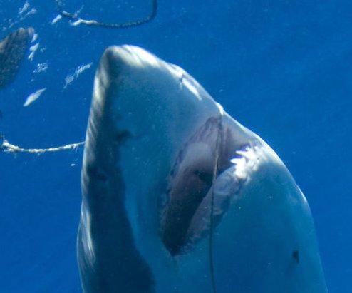 Great white shark breaches near Southern California surfers