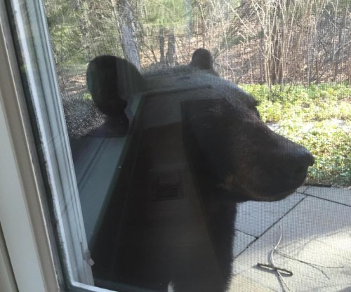 Bear knocks over fences, looks into home windows